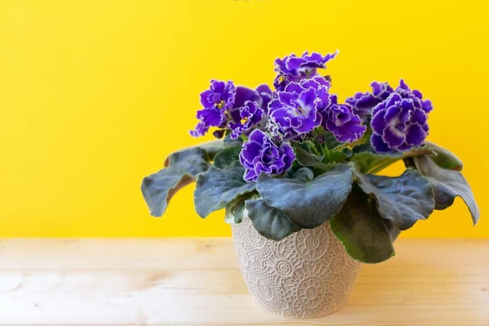 favorite flowering house plants