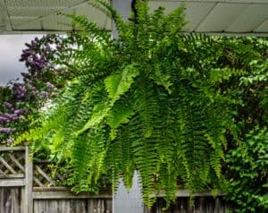 Boston Fern Plant Care