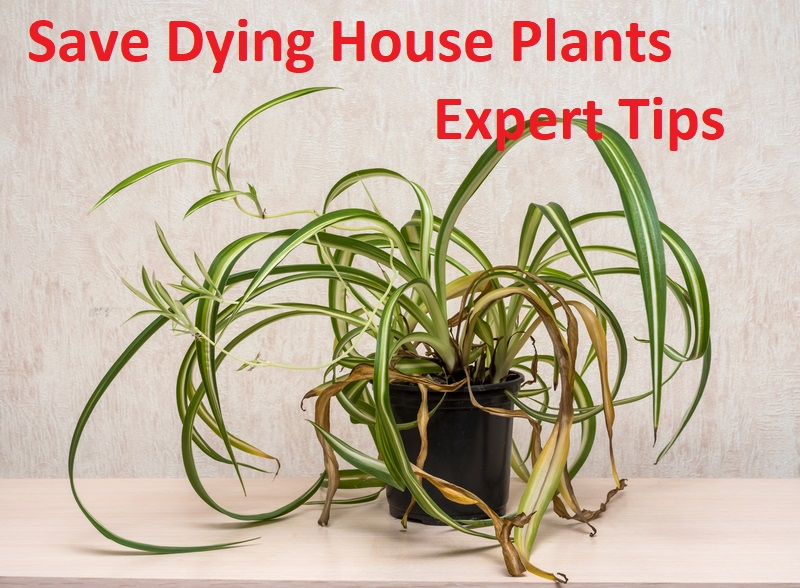 save dying house plants