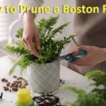 how to prune a boston fern