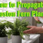 how to propagate boston fern plants
