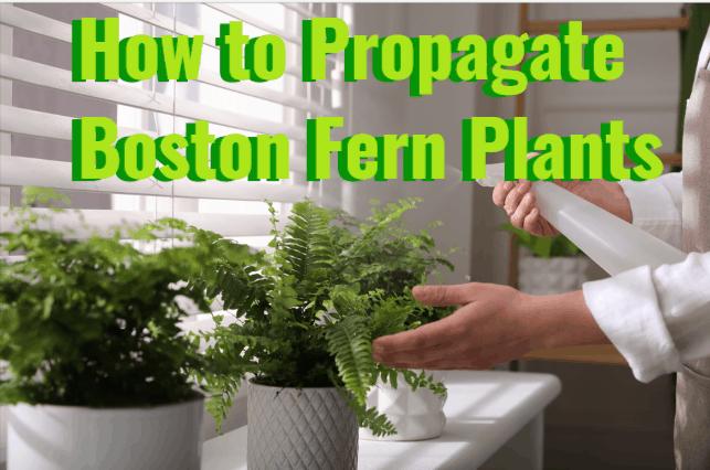 How to Propagate Boston Fern Plants in 2021