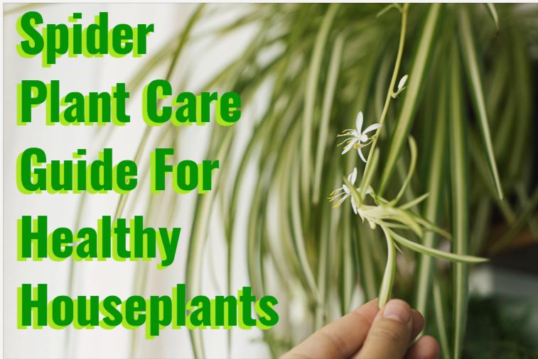 Spider Plant Care Guide