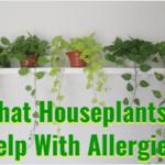 houseplants help with allergies