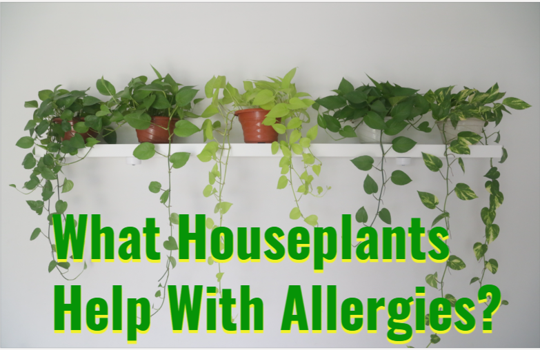 What Houseplants Help With Allergies