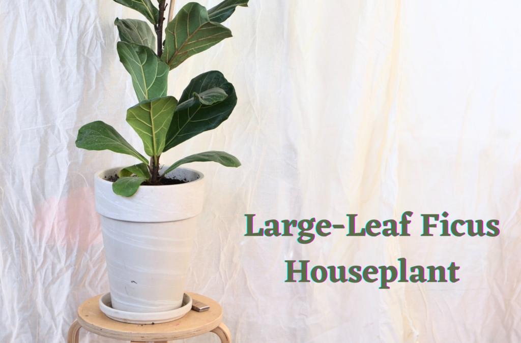 Large-Leaf Ficus Houseplant