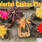 colorful cactus plants