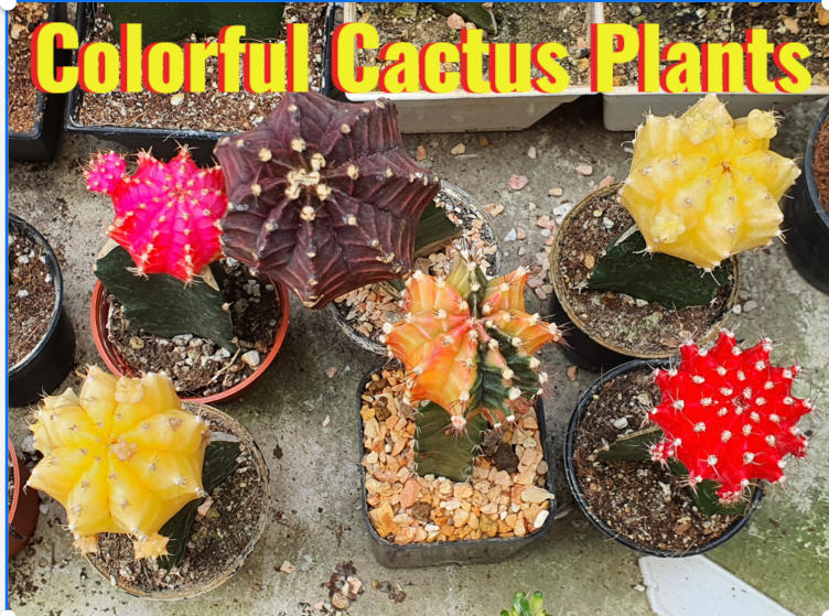 7 Colorful Cactus Plants to Add to Your Home