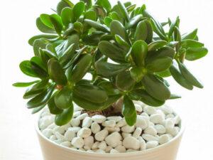 Jade Plant succulents indoors