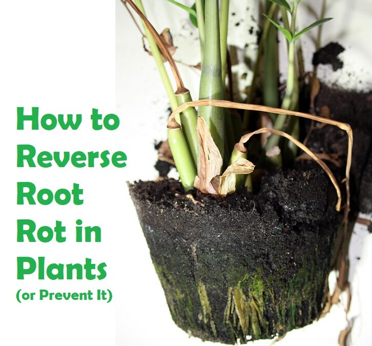 How to Reverse Root Rot in Plants (or Prevent It)